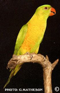 ASNSW - The Scaly-breasted Lorikeets and their Mutations