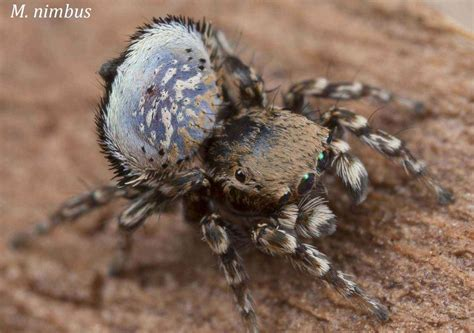 Scientists Find Two New Peacock Spiders, Known For Funny